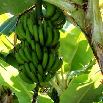 Arucas: -Riktiga- bananer är gröna. Och växer uppåt.